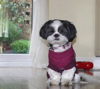 Tilli in her New Jumper.. Check em out here.. CUTE !! #shihtzu #dogs #cutedogs #dogclothes #dressedupdogs