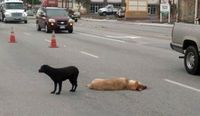 Loyal black lab, stays by her friend's side after the other dog was fatally wounded. Tear alert!