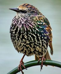 Starling On The Serpentine