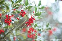 Holly and berries (by Rosanna Bell)
