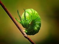 Dragonhead Caterpillar