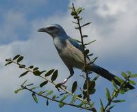 The Florida scrub-jay is the ONLY bird species unique to Florida. Fall is the peak time for scrub-jays to gather and hide acorns for the colder months. One bird can cache 6,000 to 8,000 acorns in a year, AND scrub-jays can remember the location of many of...