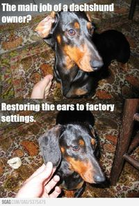 The main job of a dachshund owner.