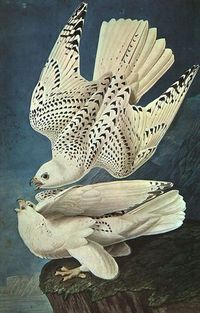 "John James Audubon.""White Gerfalcons"""
