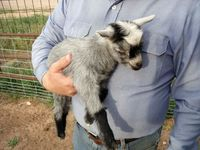 pygmy goat...legal to own!!!