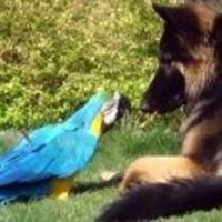Elvis, a nine year blue and yellow Macaw and Summer, a one year old German Shepherd play tug of war with a stick. This is an adorable video. What a sweet, gentle dog!